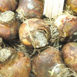 Mould infested onions